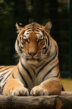 Tygrysy są wciąż obiektem pożądania kłusowników. Głównie poluje się na nie, by pozyskać części ciała, które używane są w tradycyjnej medycynie chińskiej.