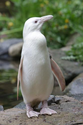 Kokosanka to imię wybrane przez internautów dla pingwina albinosa z gdańskiego zoo.