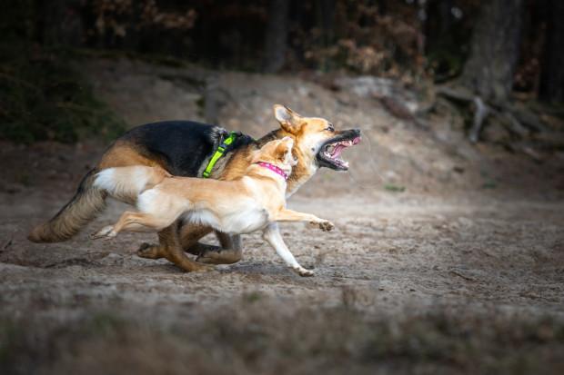 Podczas zabawy psy mogą wydawać różne niepokojące dźwięki. W wielu sytuacjach nie jest potrzebna ingerencja człowieka. Na zdjęciu psy różnej wielkości podczas gonitwy.