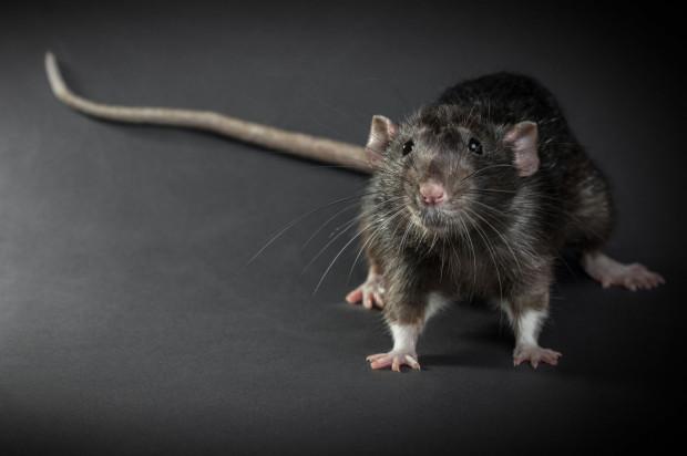 Najpospolitszym gatunkiem szczura w Polsce jest widoczny na zdjęciu szczur wędrowny. To gatunek obcy, który został zawleczony do Europy z Azji w okresie średniowiecza.