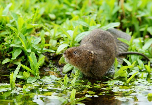 Widoczny na zdjęciu gryzoń to karczownik ziemnowodny, zwany potocznie szczurem wodnym.