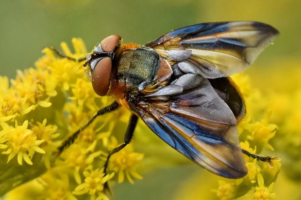 Trójmiejskie lasy są domem dla wielu organizmów, m.in. pięknej muchówki  Phasia hemiptera .