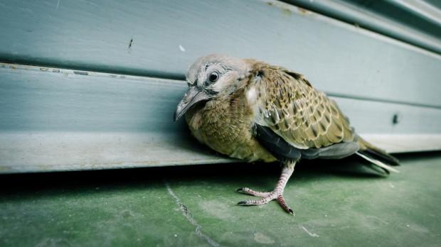 W mieście nietrudno spotkać rannego ptaka. Jak mu pomóc?