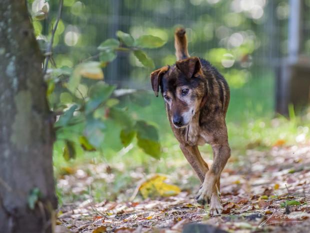 Dla staruszka życie w schroniskowych warunkach to ogromne wyzwanie, a dla starszego psa cierpiącego dodatkowo na chorobę neurologiczną to podwójne wyzwanie. Przy odpowiednim leczeniu, opiece i włożonym sercu przed Staszkiem jeszcze wiele lat dobrego i szczęśliwego życia.