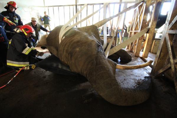 Słonica nie mogła wstać o własnych siłach. Strażacy użyli specjalnych poduszek; wykorzystano także pasy, którymi udało się podnieść ciężkie zwierzę.