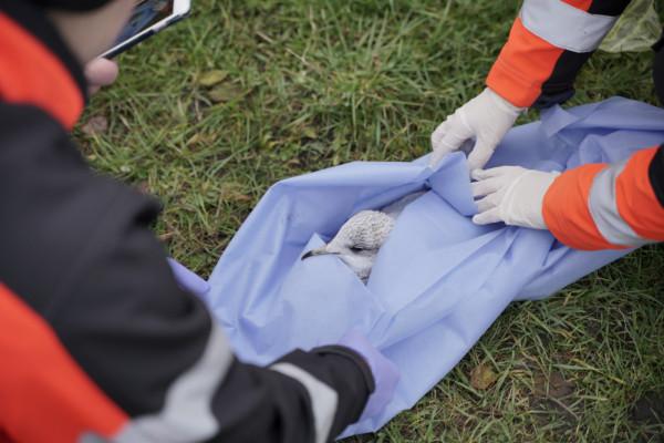 Ratownicy medyczni zabezpieczyli rannego ptaka i zawieźli go do lecznicy weterynaryjnej.