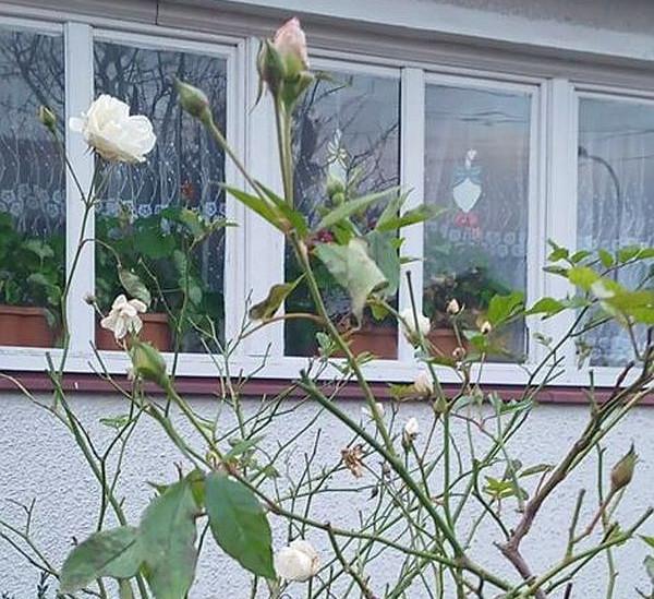 W połowie grudnia w Pruszczu Gdańskim zakwitły róże.
