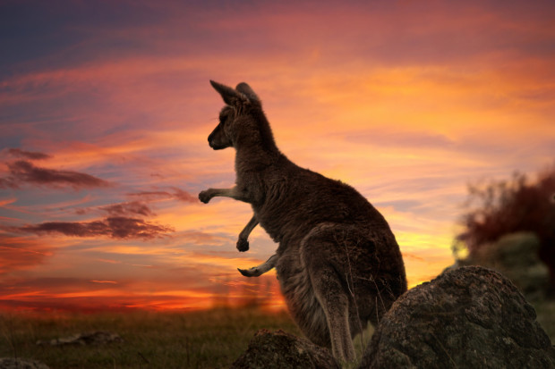 Pożar w Australii pochłonął już miliony zwierząt.