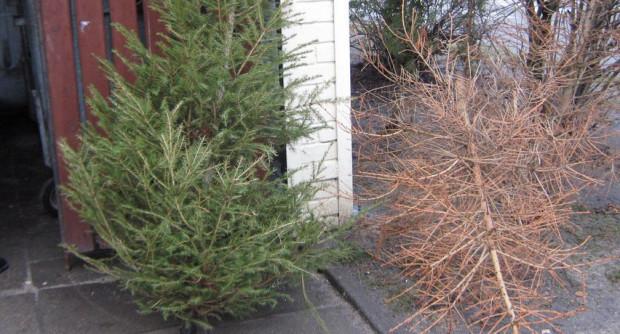 W Trójmieście choinki będą bezpłatnie odbierane z wiat śmietnikowych w styczniu oraz lutym.