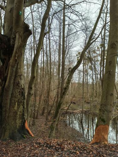 Bobry zbudowały dwie tamy na Potoku Swelina w Gdyni.