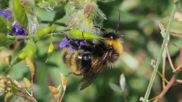Trzmielec północny jest jednym z najrzadszych gatunków pszczół w Polsce.