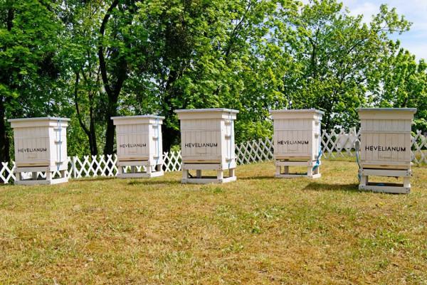 Miejskie pasieki to dobry pomysł, ale potrzebne jest nasze wsparcie. Sadźmy łąki, dbajmy o ukwiecone balkony i ogródki, pszczoły nam za to podziękują.