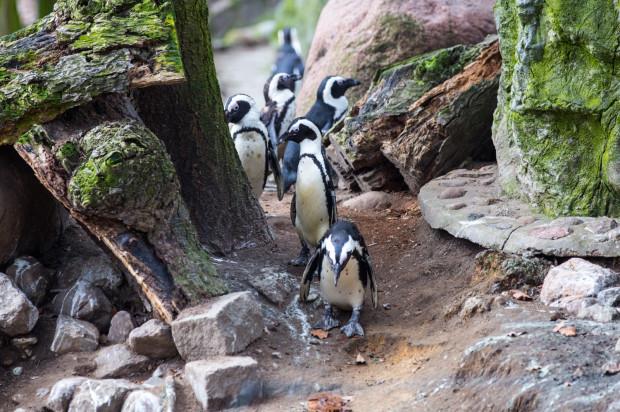 W gdańskim zoo poznacie wiele ciekawostek związanych z fokami i pingwinami.