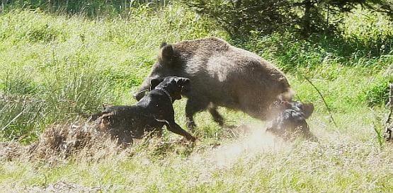 Psy w lesie tropią i atakują zwierzęta, bo tak każe im instynkt. Dlatego właściciele powinni myśleć za nie.