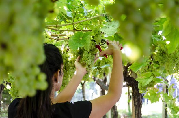 Ekologiczne wina są zdrowsze dla ludzkiego organizmu i bezpieczniejsze dla środowiska naturalnego.