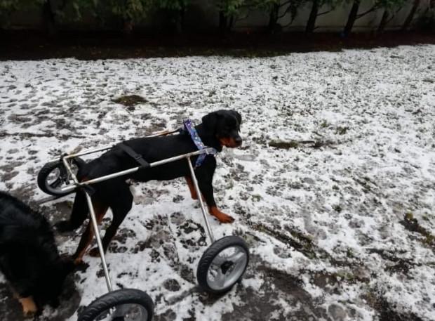 Sparaliżowany psiak w wózku z materiałów ufundowanych przez fundację Psia Krew.