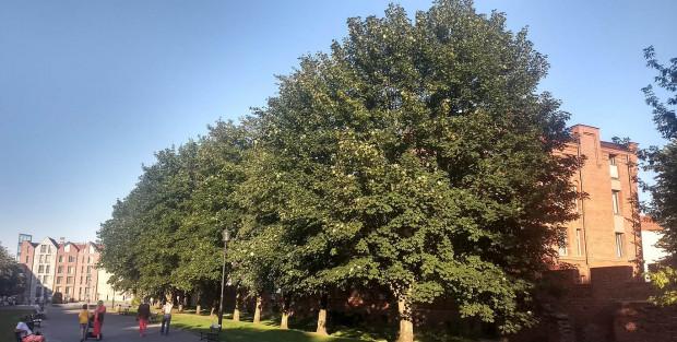 Spór toczy się o te drzewa, rosnące przy deptaku biegnącym aż do Targu Rybnego.