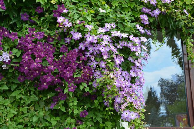 Powojniki (clematisy) mają piękne kwiaty. Wybór kilku sadzonek o różnych terminach kwitnienia może sprawić, że w ogrodzie będzie kolorowo niemal przez cały sezon.