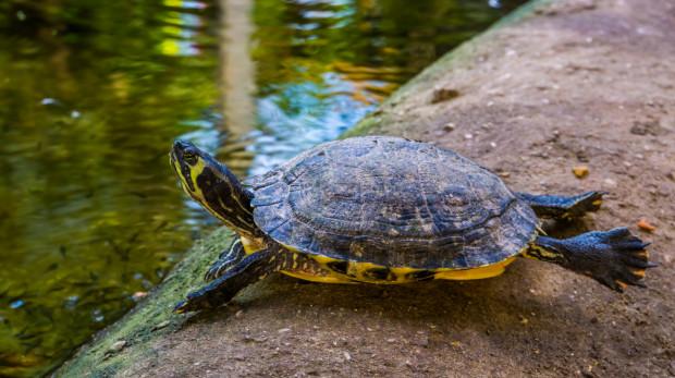 Żółw żółtolicy jest gatunkiem pochodzącym z USA.