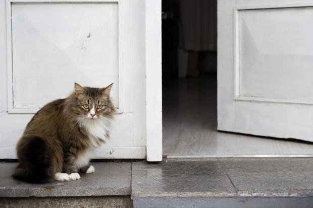 Wypuszczanie kota na zewnątrz nie jest dobrym pomysłem, zwłaszcza jeśli zwierzę jest niewykastrowane.