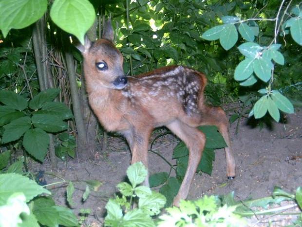 """""""Zabierając małą, zdrową sarnę z lasu, wyrządzamy jej krzywdę. Tylko w naturalnym środowisku jest w stanie nauczyć się wyszukiwania pokarmu, znalezienia bezpiecznego schronienia, unikania drapieżników. Bez mamy nie jest w stanie nauczyć się, jak być sarną"""" - czytamy na stronie Gdańskiego Ogrodu Zoologicznego."""