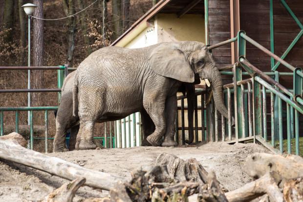 Mieszkańcy gdańskiego zoo czekają na gości. Pierwsi odwiedzą zwierzaki już we wtorek, 19 maja.