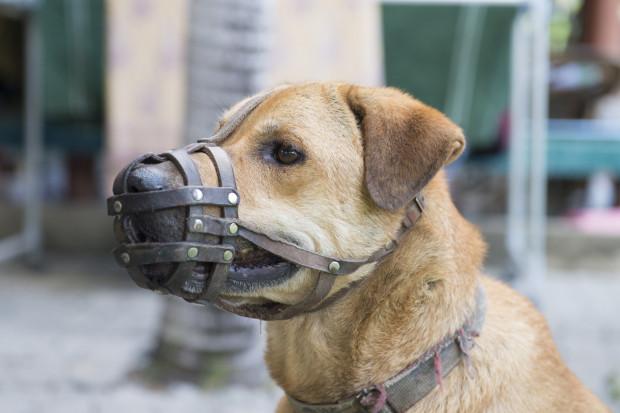 Kaganiec, w którym pies nie może swobodnie otworzyć pyska, może być używany jedynie przez kilka chwil.