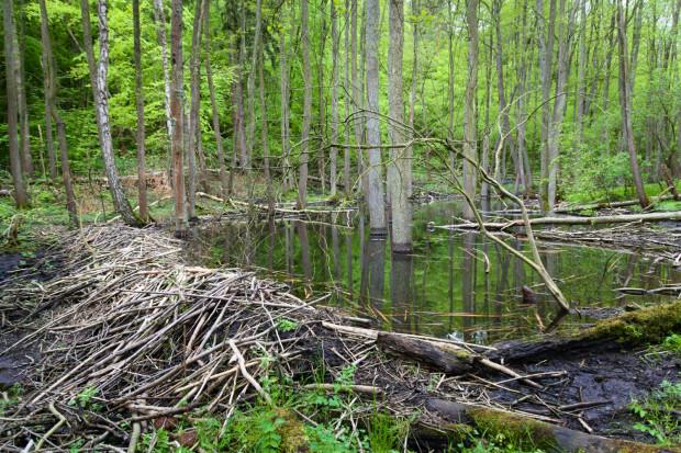 Tama w Rezerwacie przyrody Łęg nad Swelinią.