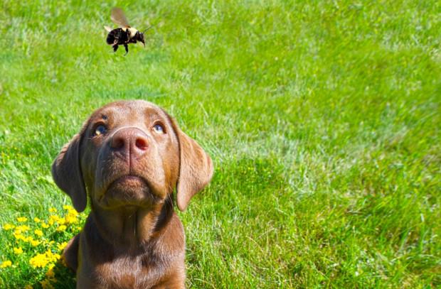 Użądlenie pszczoły czy osy nie musi być groźne w skutkach, choć zwykle jest bardzo przykre dla psa.
