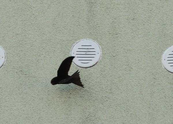 Wróble i jerzyki na gdańskiej Zaspie nie mogły dostać się do swoich gniazd.