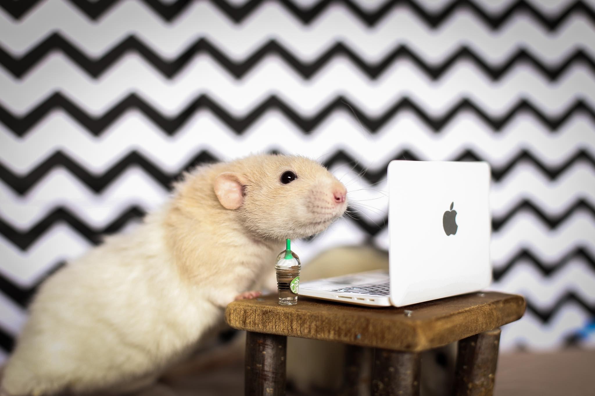 Szczury Dozwolone Od Lat 18 Dbanie O Te Gryzonie Nie Jest łatwe