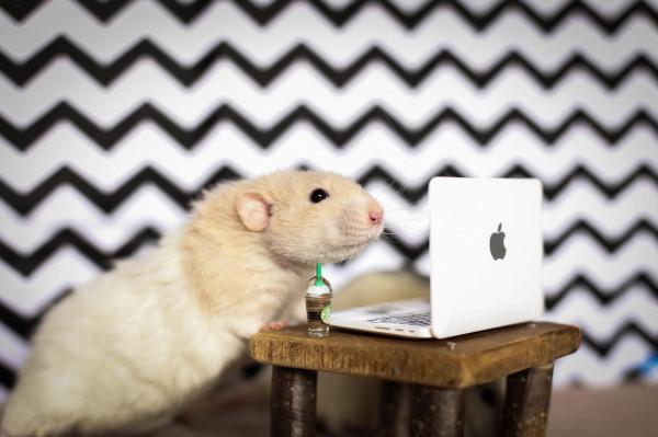 Szczur, choć znacznie większy niż mysz czy chomik, żyje mniej więcej tyle co one - zaledwie dwa, góra trzy lata.
