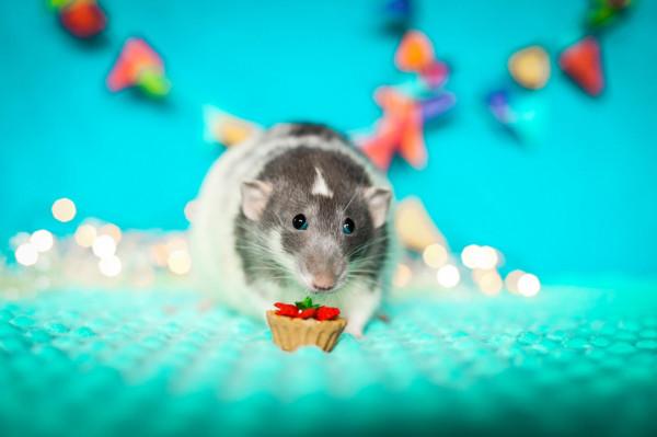 Posiadanie szczura to nie tylko niekończące się zabawy, lecz także duże zobowiązanie. Jest sporo argumentów, które powinny skłonić nas do powtórnego zastanowienia się w przypadku planowania przygarnięcia lub kupna tego gryzonia.