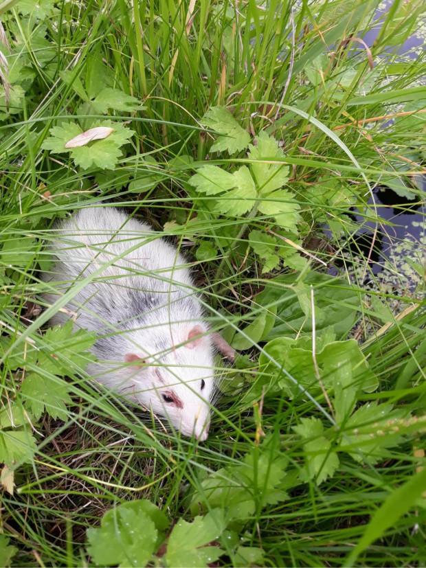 Szczur wyrzucony w Gdańsku. Niestety, gdy został znaleziony był przerażony, miał liczne pogryzienia przez kota. Nie przeżył, a mógłby żyć, gdyby tylko ktoś go oddał zamiast wyrzucać.