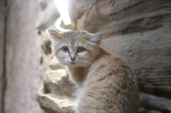 Samica kota arabskiego została nową mieszkanką gdańskiego zoo.