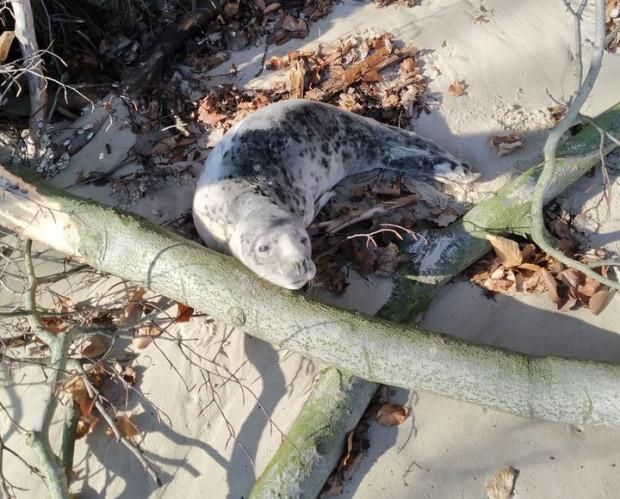 Gdyńskie plaże bywają miejscem narodzin fok.