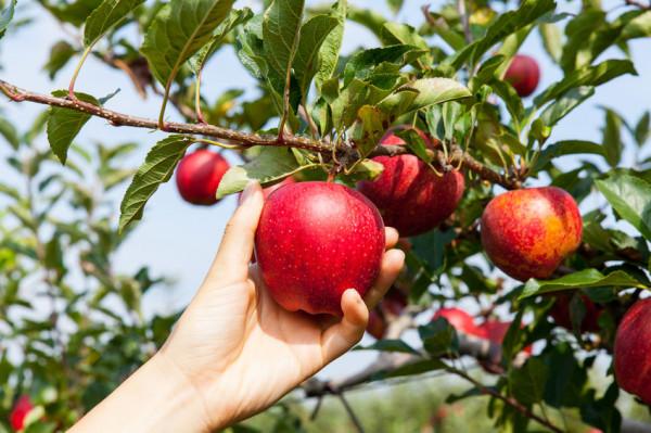 Jabłka zawierają wiele witamin i minerałów. Najzdrowsze są te surowe, spożywane ze skórką.