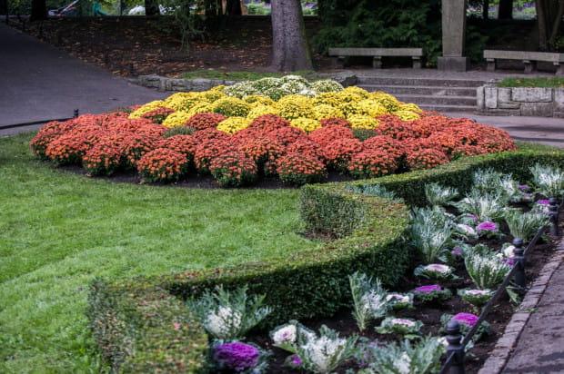 Kolorowe chryzantemy i kapusty ozdobne pojawiają się w wielu miejscach Gdańska.