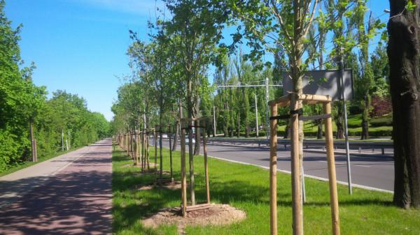 Projekt Klimatyczne Centrum zakłada więcej zieleni w centrum miasta. Na zdjęciu szpaler drzew przy al. Zwycięstwa posadzony trzy lata temu.