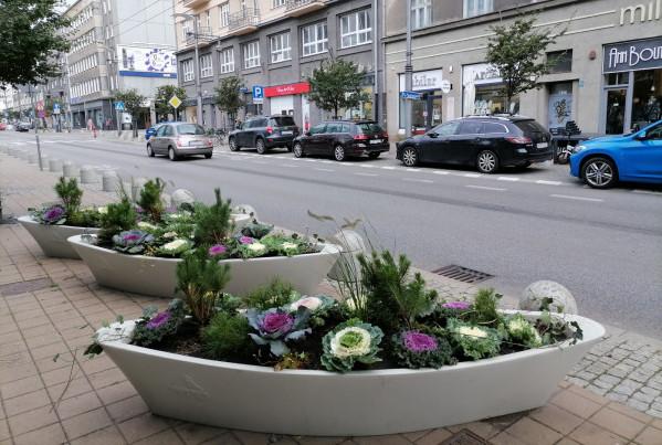 Ozdobne kapusty w Gdyni.