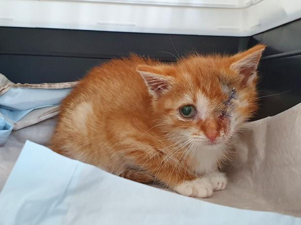 Koteczka po operacji usunięcia oka z powodu kociego kataru.