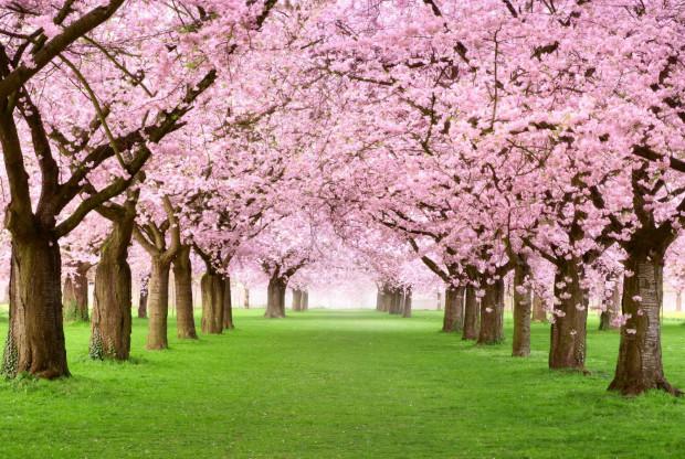 Kwitnące wiśnie tworzą malowniczy widok.