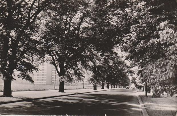 Drzewa przy al. Grunwaldzkiej w latach 60. XX wieku.