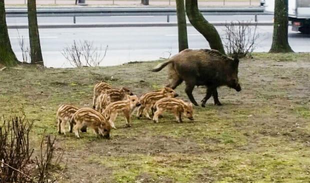 Dziki śmiało wychodzą na ulice w centrum miasta. Często można spotkać je wczesnym rankiem lub późnym wieczorem.
