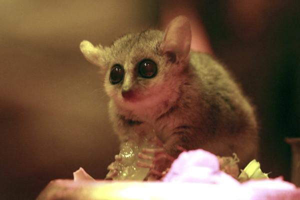 W skład diety lemurka wchodzą żuki, ćmy i modliszki. Zajada się również kwiatami, owocami, nektarem.