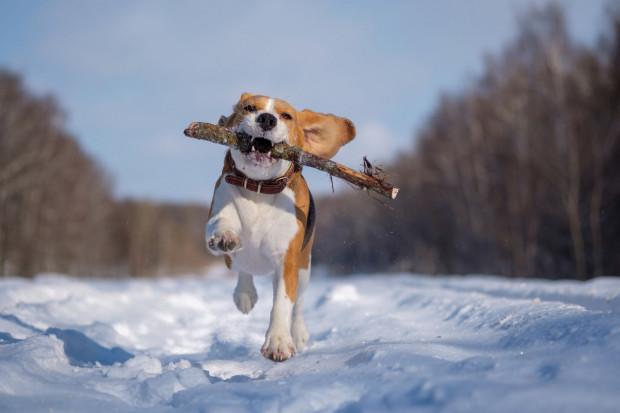 Spacer z psem to prawdziwa przyjemność, jednak nie wszędzie możemy puścić psa ze smyczy. Na terenie wybiegu dla psów zwierzaki mogą biegać beztrosko.