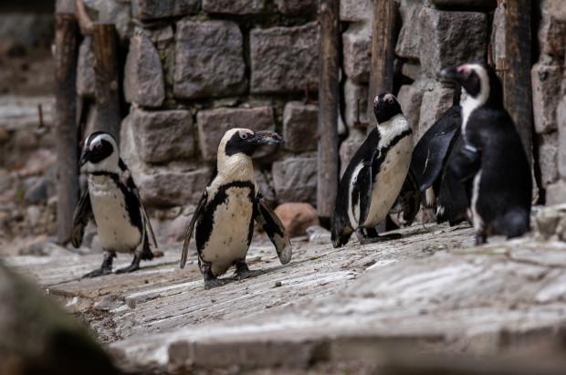 W zoo w Gdańsku można oglądać m.in. pingwiny.