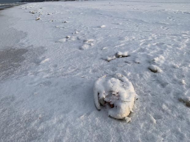 Martwy łabędź znaleziony na Stogach 10 lutego