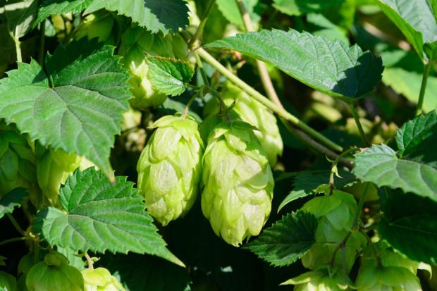 Zupa chmielowa czy chmielowy trunek to często używane synonimy piwa. Wielu piwoszy jest przekonanych, że piwo warzy się z chmielu i wody. Tymczasem podstawowym surowcem tego trunku jest słód.