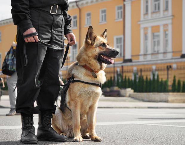Pośród psów pracujących w Policji większość z nich to owczarki niemieckie (na zdjęciu) i owczarki belgijskie.